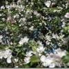 Kā kaļķosim augļu un citus dārza kokus