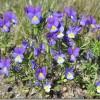 Trejkrāsu vijolītes brīnumainās īpašības
