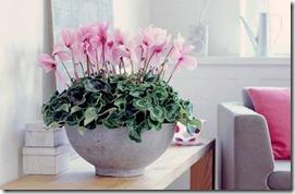roza ciklamena