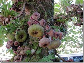 vīģes kokos