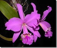 Cattleya orhidejas (2)