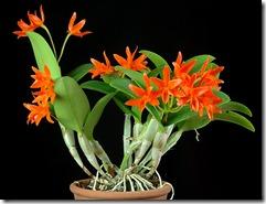 Cattleya orhidejas (3)