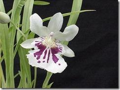 Miltonia orhidejas (4)