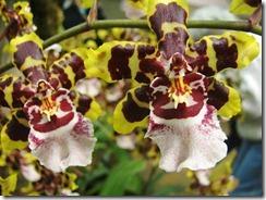 Odontoglossum orhidejas
