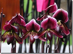 Paphiopedilum orhidejas (2)