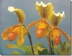 Paphiopedilum orhidejas (3)