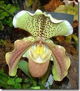 Paphiopedilum orhidejas