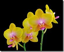Phalaenopsis orhideja