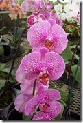 Phalaenopsis  orhidejas
