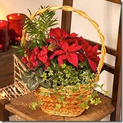 dzīvie ziedi Ziemassvētkos (5)