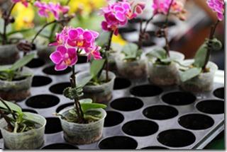 ka pirkt orhidejas