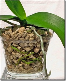 orhidejas grunts