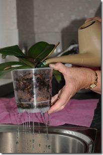 orhideju laistīšana