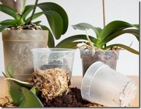 orhideju parstadišana