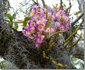 savvalļas orhidejas (10)
