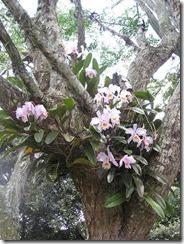 savvalļas orhidejas (5)