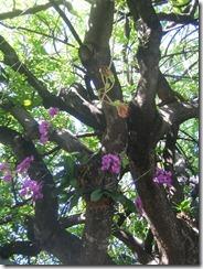 savvalļas orhidejas (6)