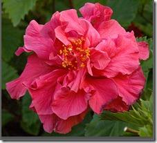 kinas-roze (17)