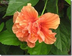 kinas-roze (2)