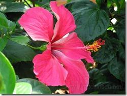 kinas-roze (7)
