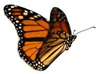 butterfly-nolegs-2