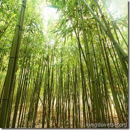 bambusu_birzs