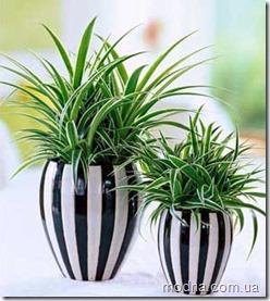 hlorofitums